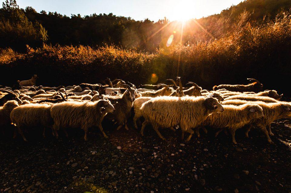 Georgian kuivien arojen lammasruuhka