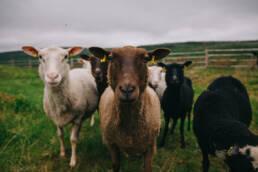 lammaspaimen välimaa